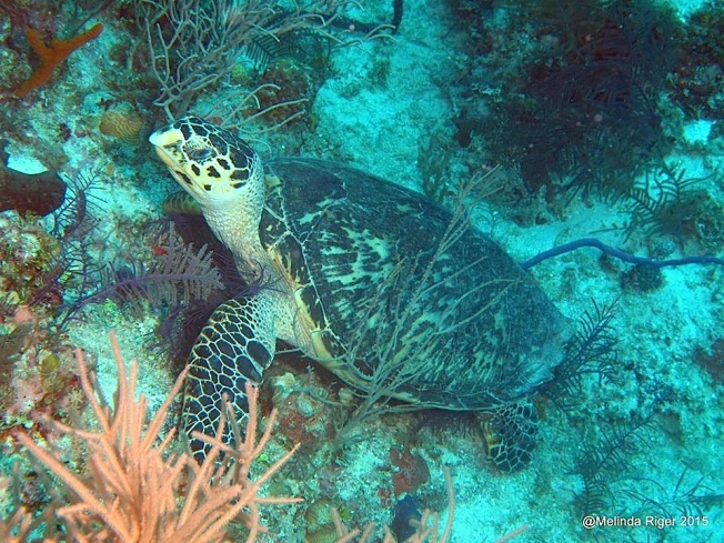Hawksbill Turtle (m) (Melinda Riger @ G B Scuba)