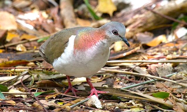 Key West Quail-Dove, Nassau, Woody Bracey