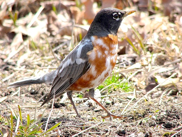 Leucistic American Robin (Amy @ PoweredbyBirds)