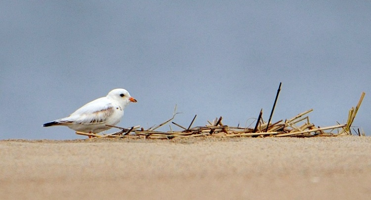 Leucistic Piping Plover (Audubon Alliance)