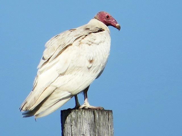 Leucistic Turkey Vulture, Florida Keys 2 (Amy at PoweredbyBirds