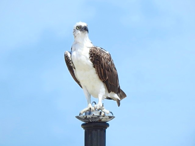 Osprey, West End Grand Bahama (Linda Barry-Cooper)