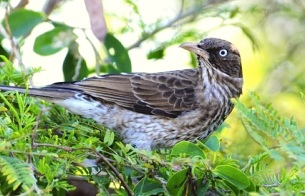 Pearly-eyed Thrasher, San Salvador (Woody Bracey) jpg