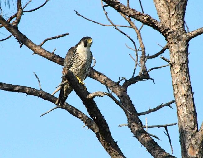 Peregrine Falcon (Woody Bracey) sm