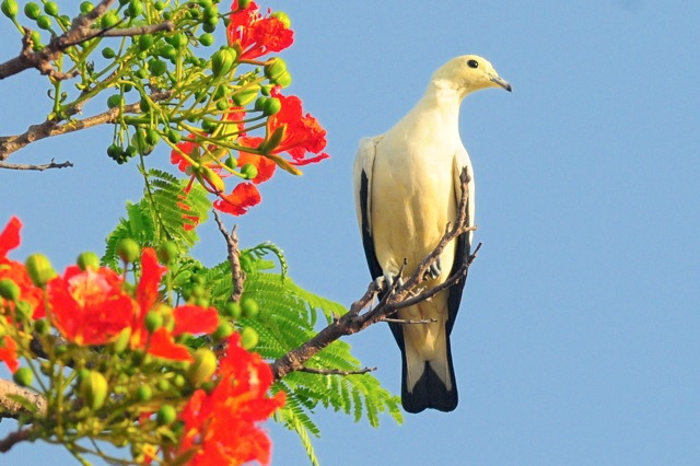 Pied Imperial Pigeon 1, Nassau (Woody Bracey)