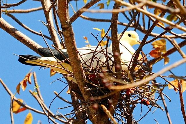Pied Imperial Pigeon 2, Nassau (Woody Bracey).JPG