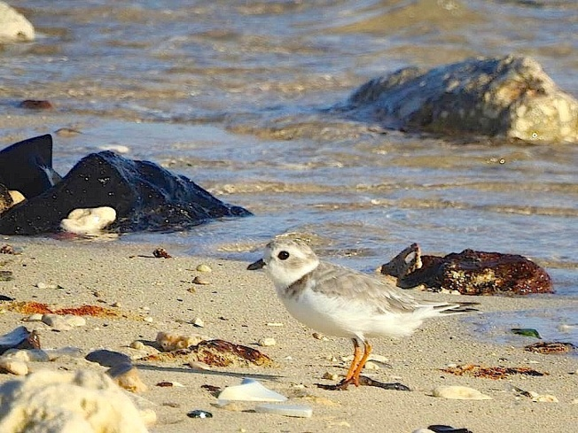 Piping Plover 1, West End Grand Bahama (Linda Barry-Cooper)