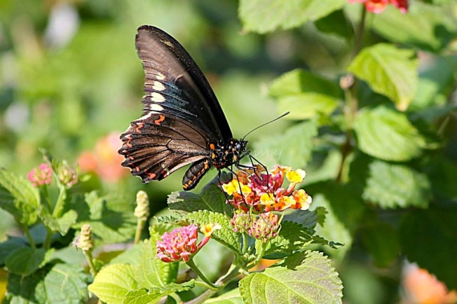 Polydamus Swallowtail abaco (Char Albury)