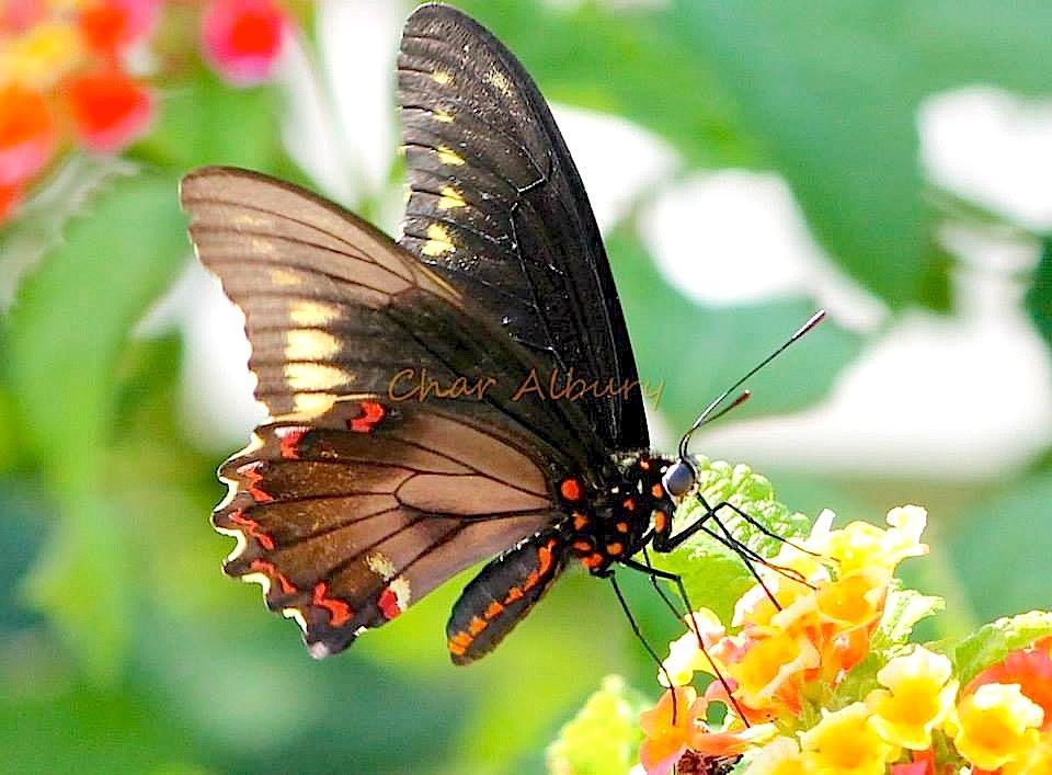 Polydamus Swallowtail, Abaco (Char Albury)