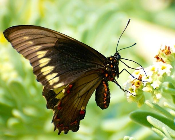 Polydamus Swallowtail, Abaco (Nina Henry)