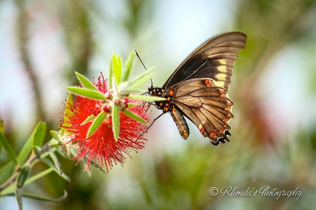 Polydamus Swallowtail, Abaco (Rhonda Pearce) copy