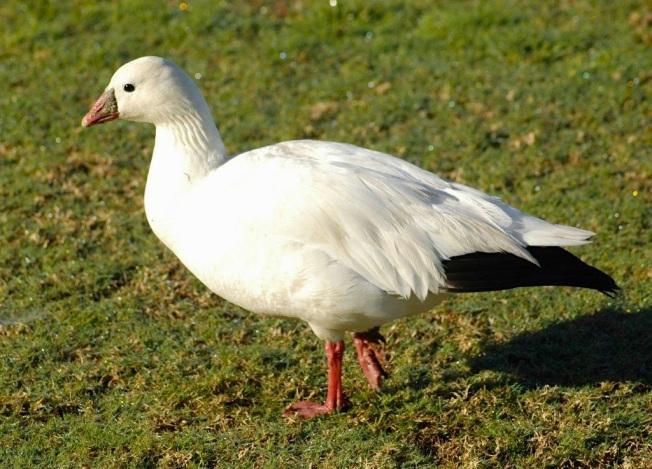 Ross's Goose, Abaco 1 (Uli Nowlan)