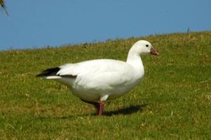 Ross's Goose, Abaco 2 (Uli Nowlan)