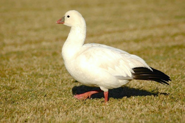 Ross's Goose, Abaco 4 (Uli Nowlan)