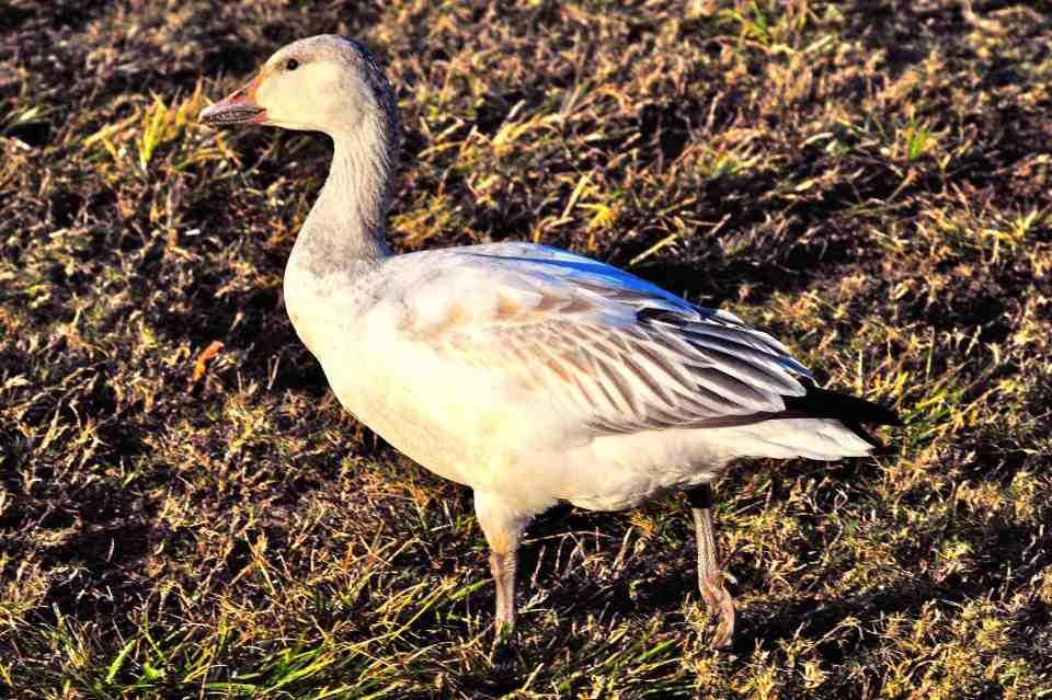Snow Goose, Abaco (Tony Hepburn) sm2