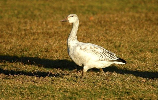 Snow Goose (imm), Abaco (Bruce Hallett)