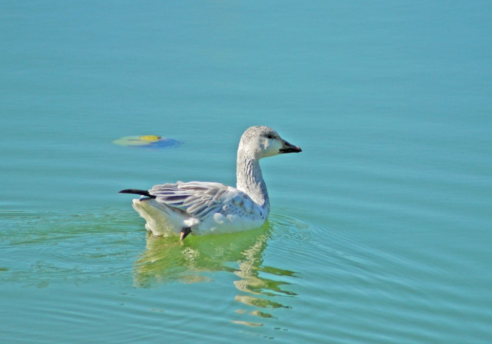 Snow Goose, Treasure Cay, Abaco (Uli Nowlan)