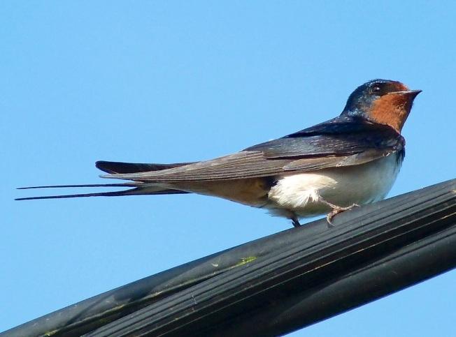 Swallow Dorset