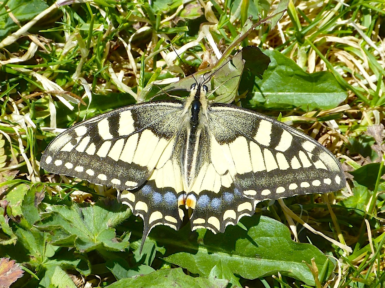 Swallowtail Butterfly (France)