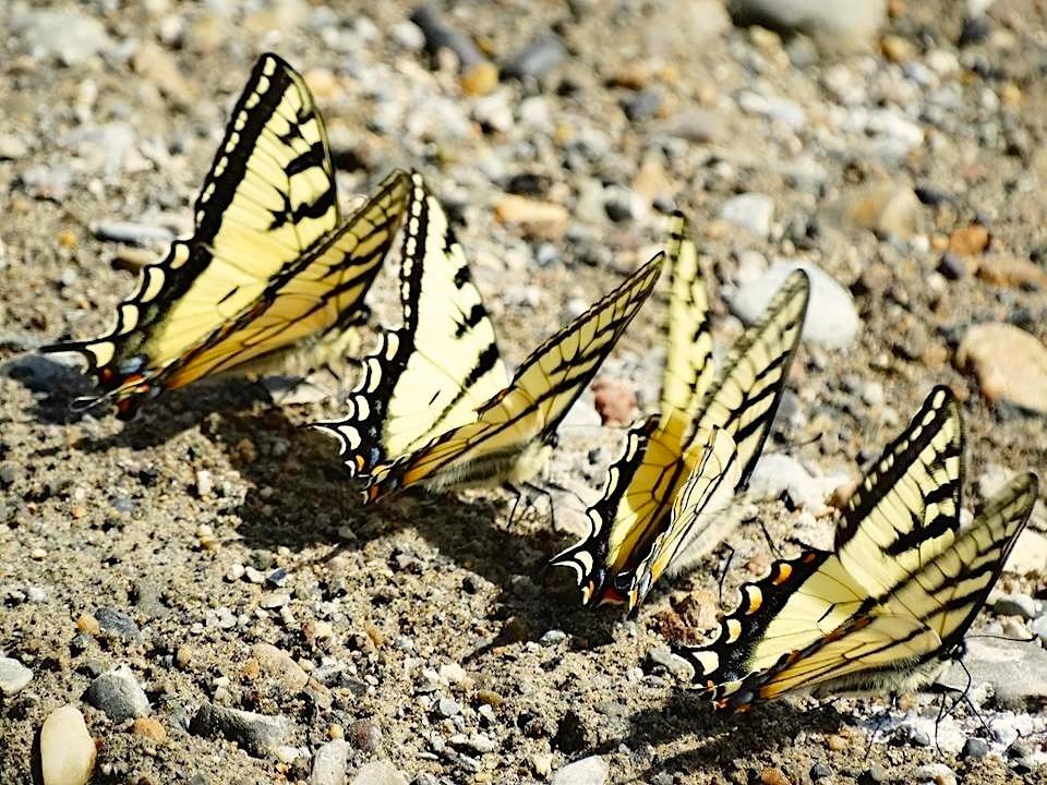Tiger Swallowtail, Abaco (Uli Nowlan)2