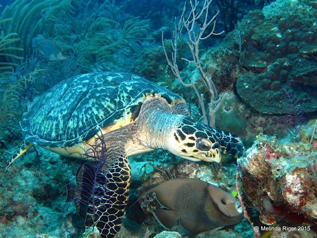 Turtle with Gray Angelfish ©Melinda Riger @ G B Scuba