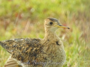 Upland Sandpiper, West End Grand Bahama (Linda Barry-Cooper)