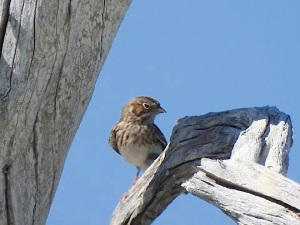 Vesper Sparrow, Grand Bahama (Linda Barry-Cooper)-