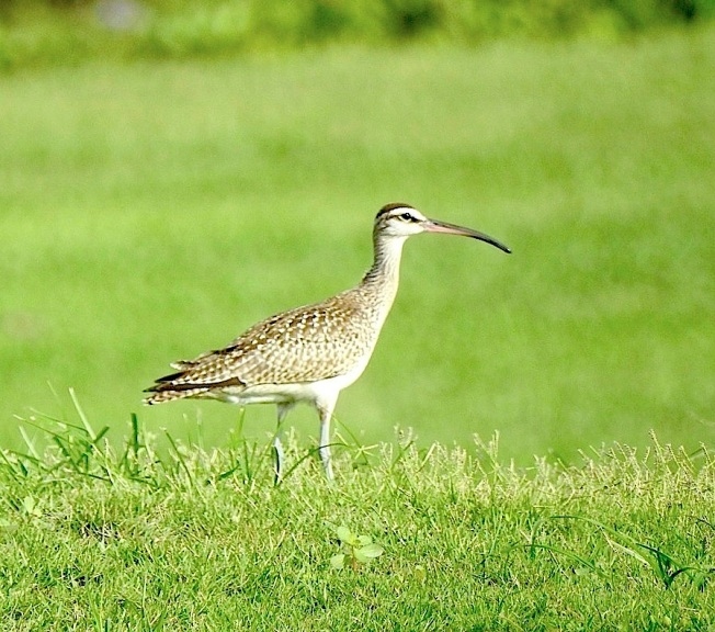Whimbrel, West End Grand Bahama (Linda Barry-Cooper)
