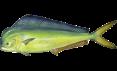 220px-Coryphaena_hippurus
