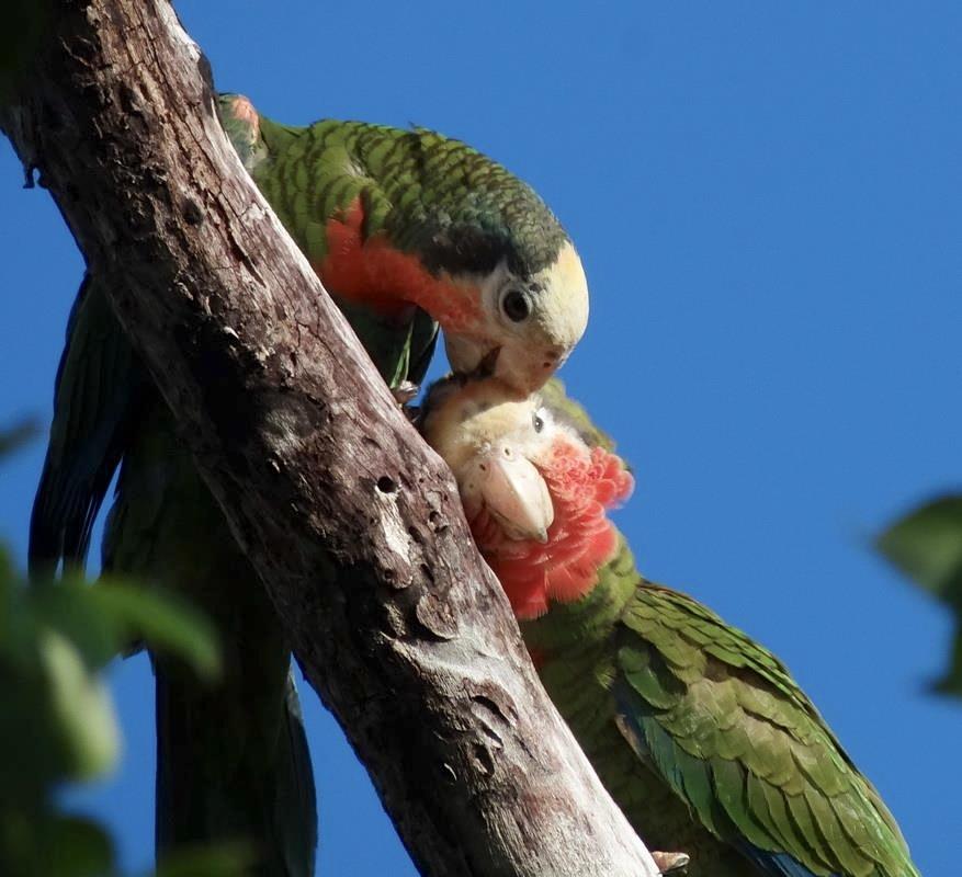 Abaco (Cuban) Parrot Pair (Melissa Maura)