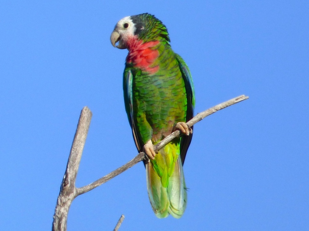 Abaco Parrot 12:15