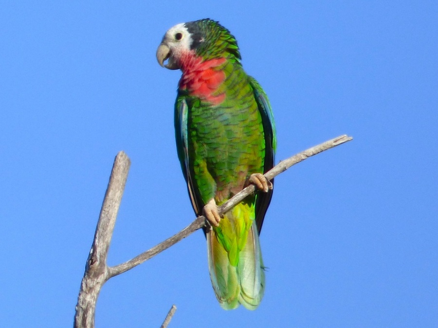 Abaco Parrot (Keith Salvesen)