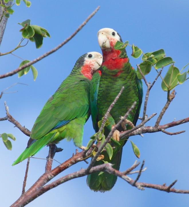 Abaco (Bahama) Parrots, Bahamas - Peter Mantle