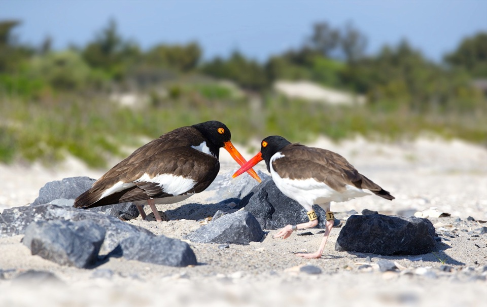 american-oystercatcher-t2-eggs (Northside Jim : Exit 63)