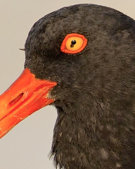 American Oystercatcher AMOY eye close-up (Todd Pover / CWFNJ)