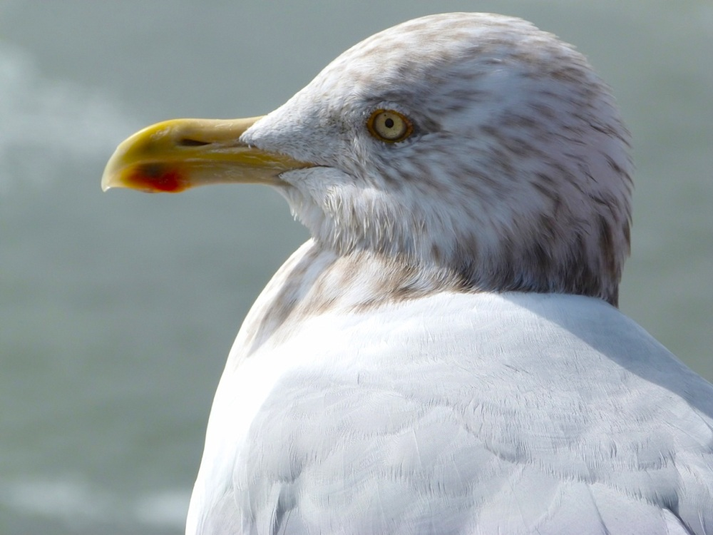 Herring Gull 1 (Keith Salvesen)