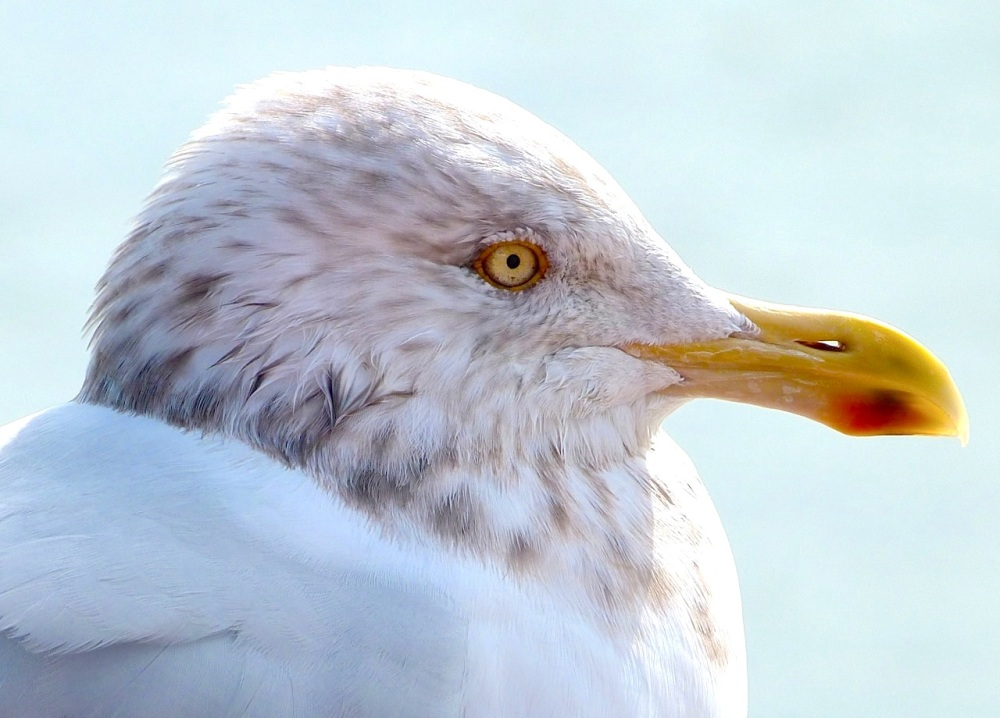 Herring Gull (Keith Salvesen)