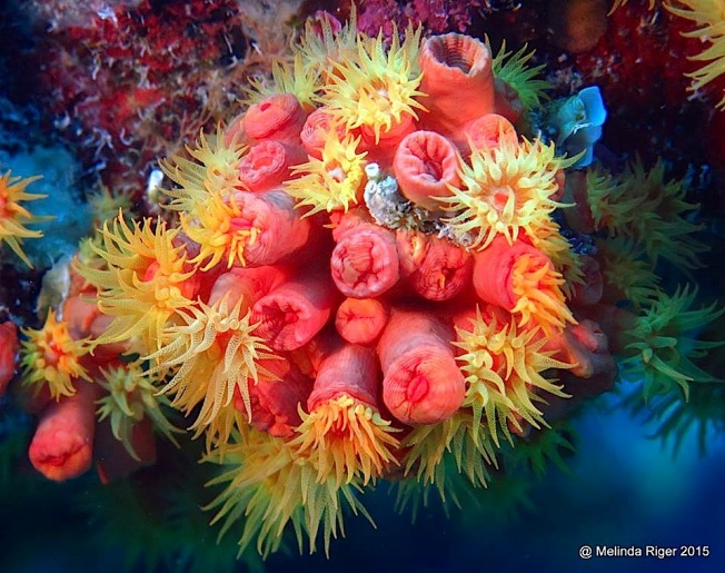 Orange Cup Coral ©Melinda Riger @ G B Scuba copy