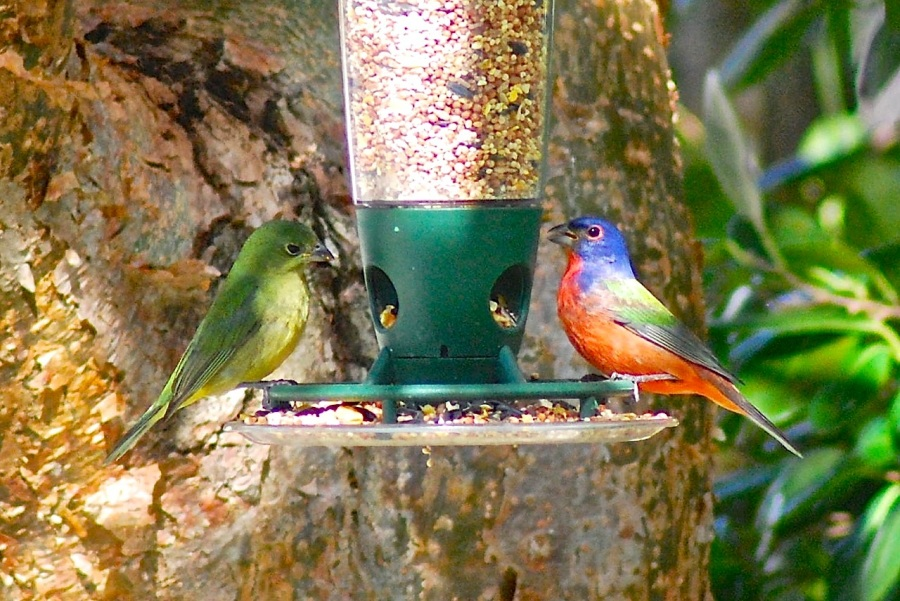 Painted Buntings (M & F), Delphi, Abaco (Keith Salvesen)
