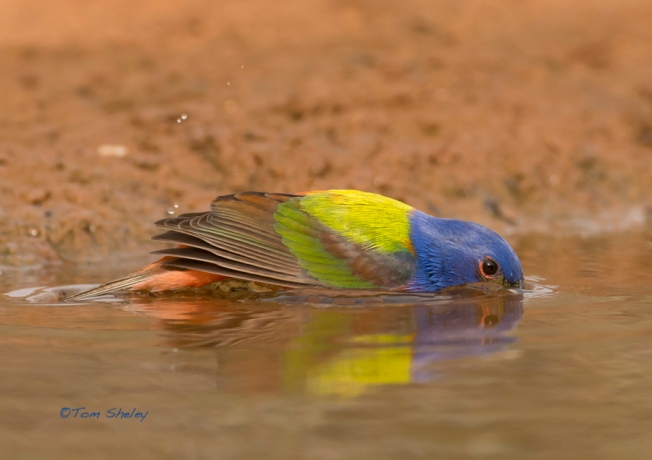 Painted Bunting dip reflection LR.Laguna Seca.South TX. 4.16.13.Tom Sheley