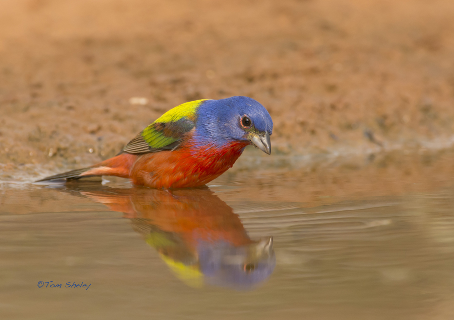 Painted Bunting reflection LR.Laguna Seca.South TX. 4.16.13.Tom Sheley