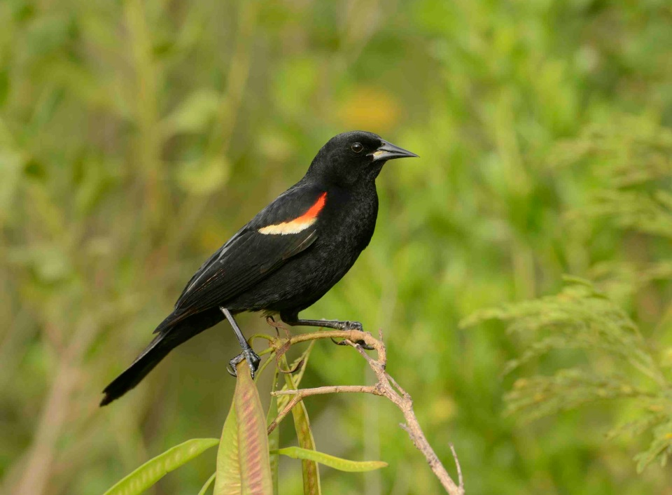 Red-winged Blackbird.Abaco Bahamas.6.13.Tom Sheley