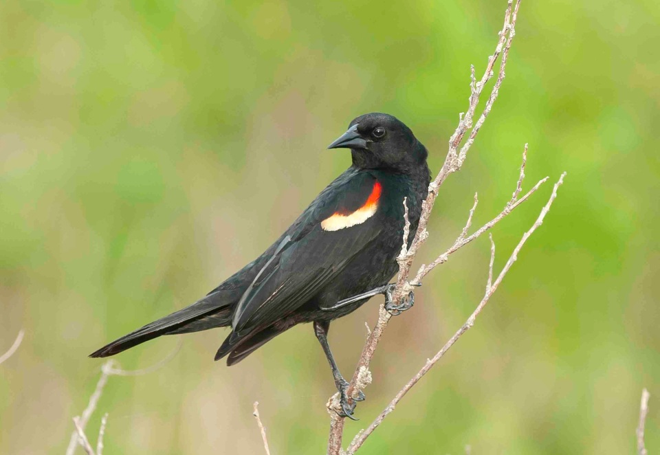 Red-winged Blackbird male 2 .Abaco Bahamas.6.13.Tom Sheley