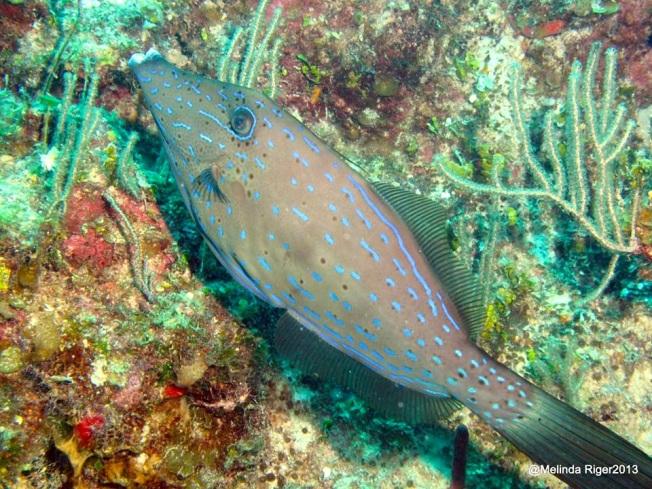 Scrawled Filefish ©Melinda Riger @ G B Scuba