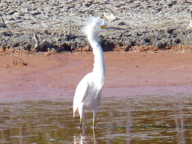 Snowy Egret, Gilpin Pond Abaco 1 (Keith Salvesen)