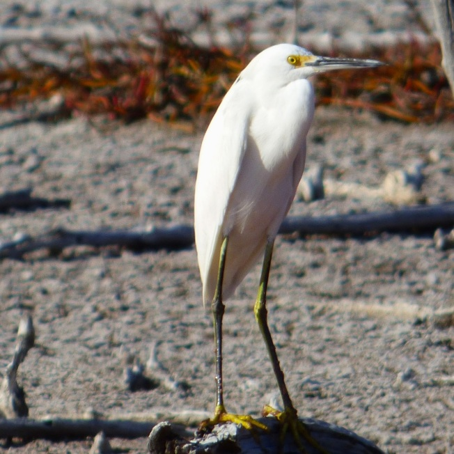 Snowy Egret, Gilpin Pond Abaco 10 (Keith Salvesen)