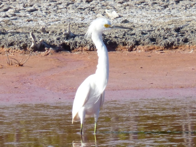 Snowy Egret, Gilpin Pond Abaco 2 (Keith Salvesen)