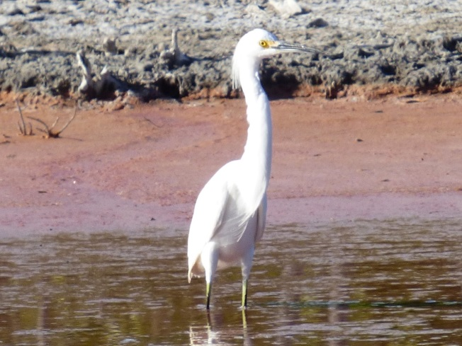 Snowy Egret, Gilpin Pond Abaco 3 (Keith Salvesen)