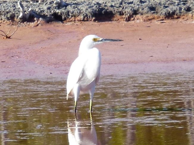 Snowy Egret, Gilpin Pond Abaco 4 (Keith Salvesen)