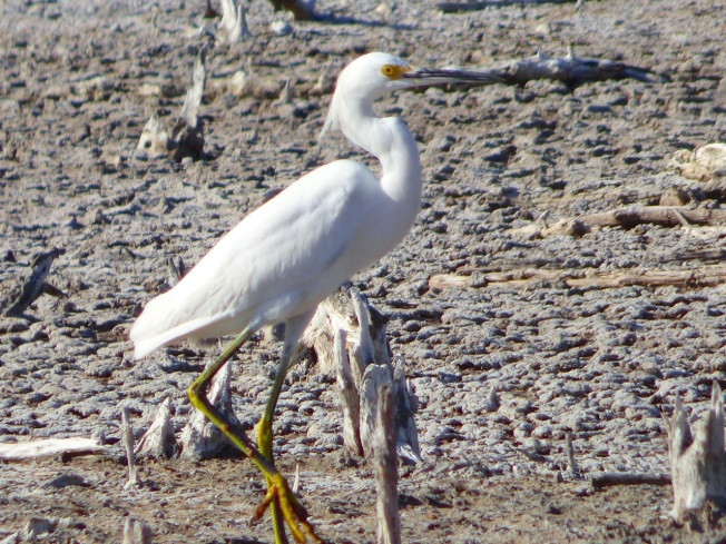 Snowy Egret, Gilpin Pond Abaco 6 (Keith Salvesen)